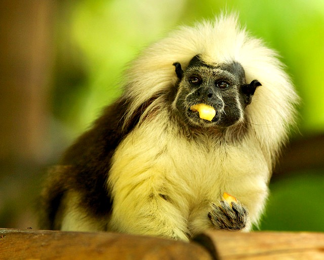 cotton top tamarin feeding