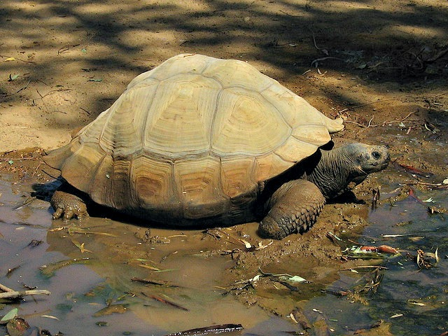 desert tortoise near water