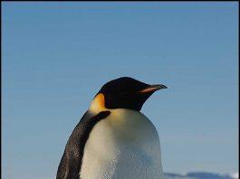 Emperor Penguin, Atka Bay, Weddell Sea, Antarctica by Hannes Grobe/AWI cc 3.0