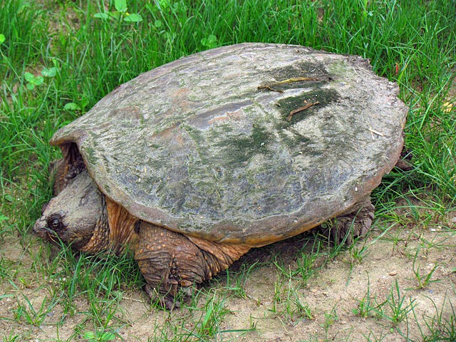 Common_Snapping_Turtle