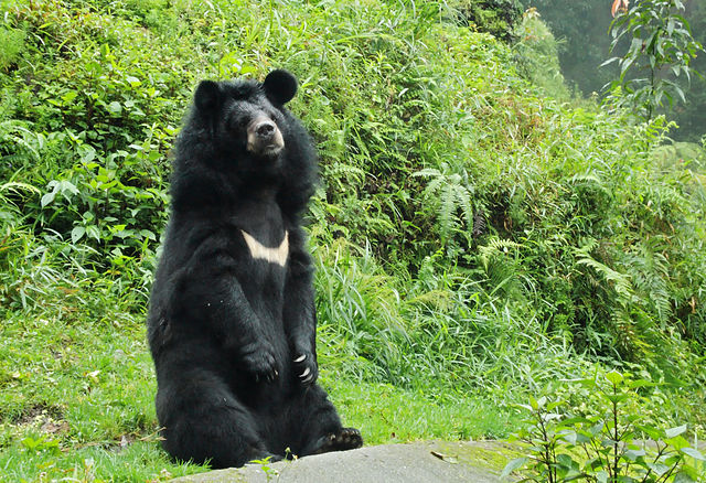 Asian Black Bear Facts