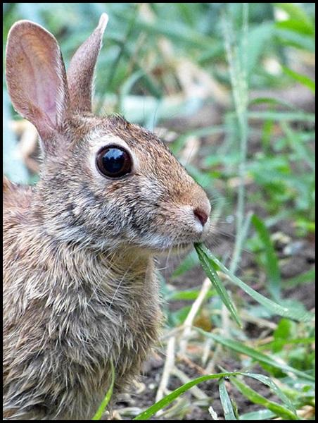 07-Rabbit_Eating_Grass_by_Monique_Haen