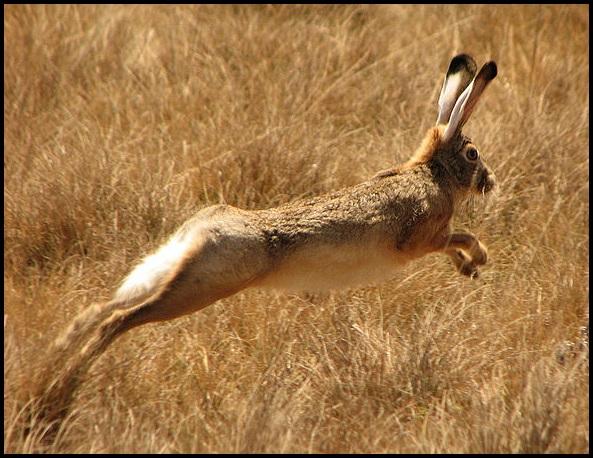 09-Ethiopian_Highland_Hare_(Lepus_starcki)_running