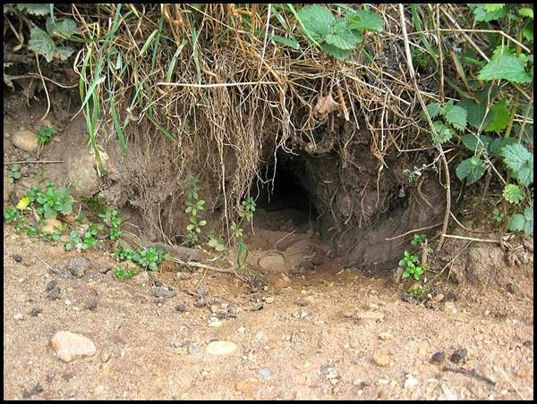13-Rabbit_burrow_entrance