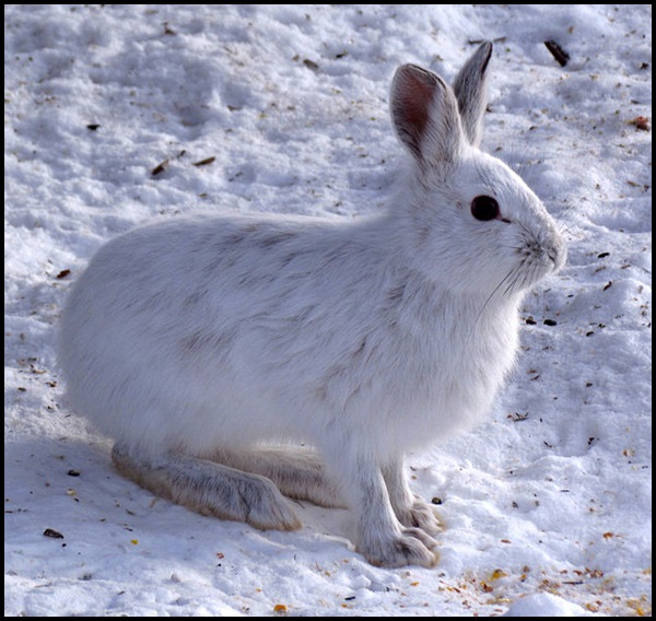 21-Snowshoe_Hare,_Shirleys_Bay