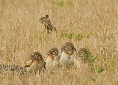 A family of burrowing owls by Annette Herz