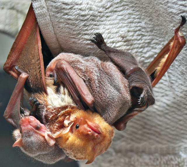 Eastern Red Bat with three babies