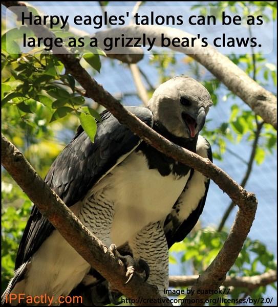 Harpy eagles' talons