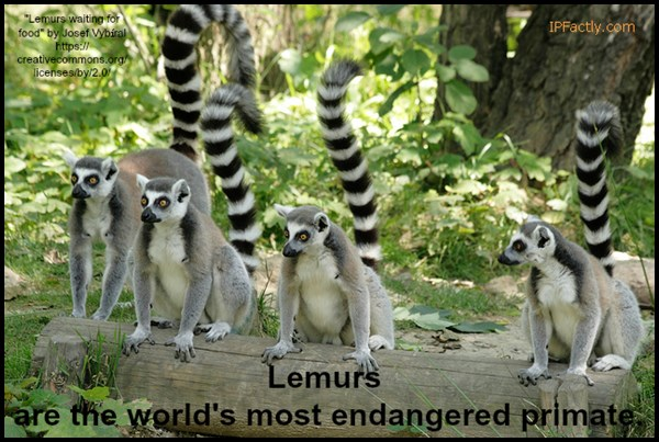 Lemurs are the world's most endangered primate.