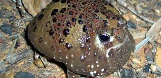 Male Crucifix toad.