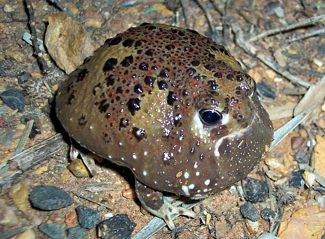 Male Crucifix toad.