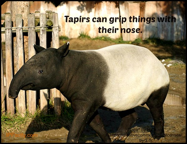 Tapirs can grip things with their nose.