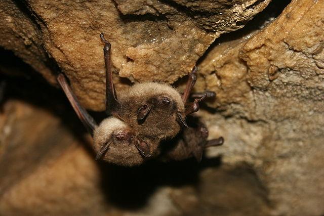 brown bats