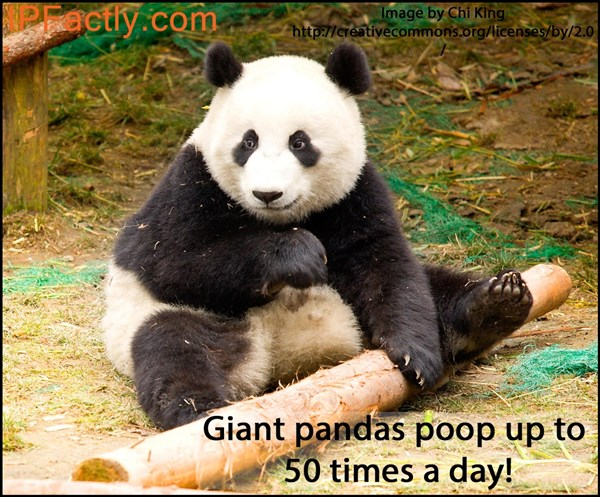 Giant Poops from a Giant Panda