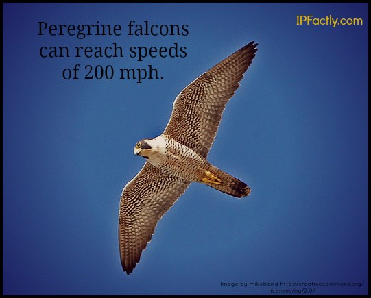 Peregrine falcons can reach speeds of 200 mph.