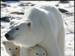 Polar bear and cubs by Karilop311