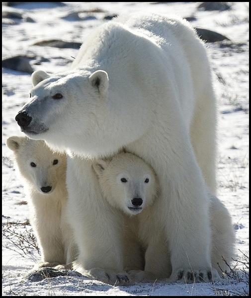Polar bear and cubs by Karilop311