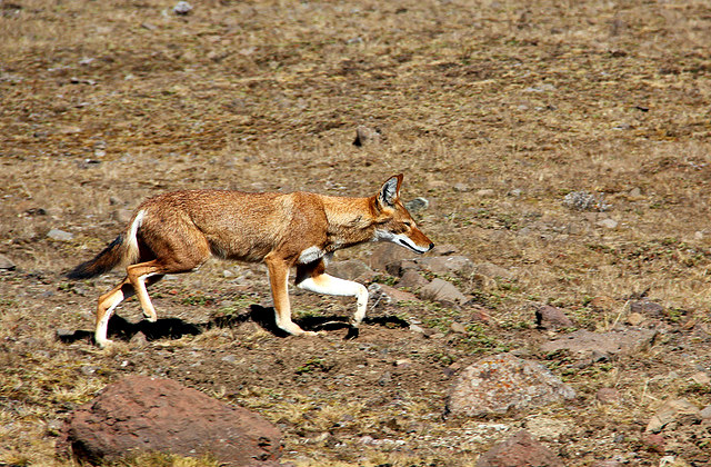 Ethiopian_Wolf