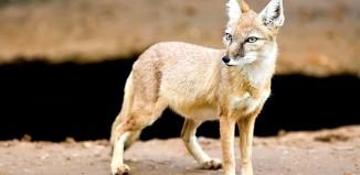 Fox---Vulpes-corsac---(Gentry)