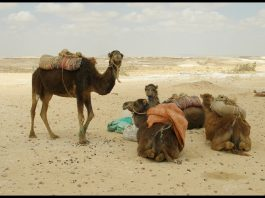 The Blessed but Not So Blessed Animals in Desert by Argenberg cc2.0
