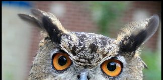 The Super Sharp Orange Eyes of Owl by GollyGforce cc2.0