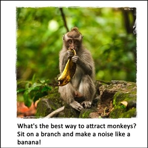 How do you attract monkeys?
