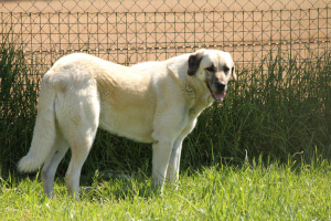 Anatolian Shepherd by Jon Mountjoy cc2.0