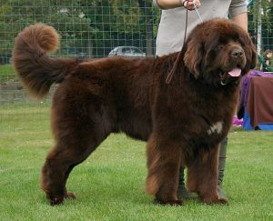 Newfoundland during Dogs Show in Rybnik by Pleple2000 License under 3.0 Unported, 2.5 Generic, 2.0 Generic and 1.0 Generic license.