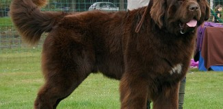 Newfoundland during Dogs Show in Rybnik by Pleple2000 cc3.0