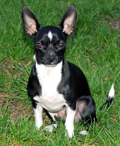 Little Man Chihuahua by David Shankbone cc2.0