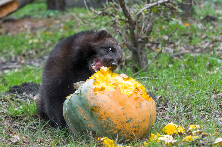 11 Interesting Facts About Wolverines Always Learning