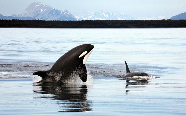 640px-Orca_Alaska