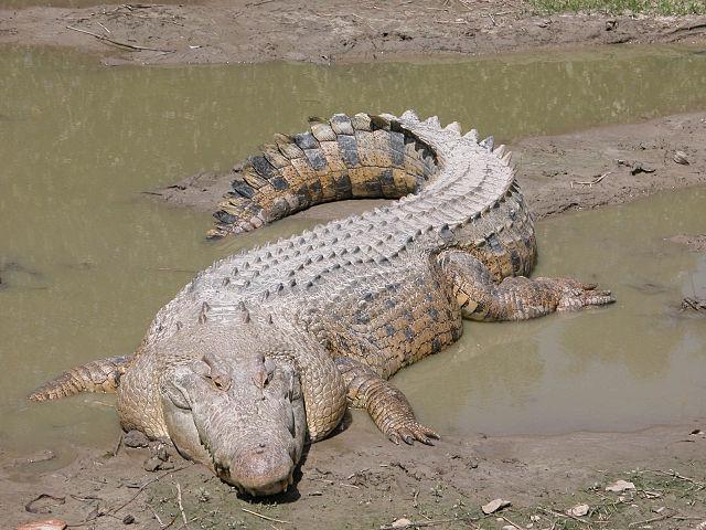 640px-SaltwaterCrocodile('Maximo')