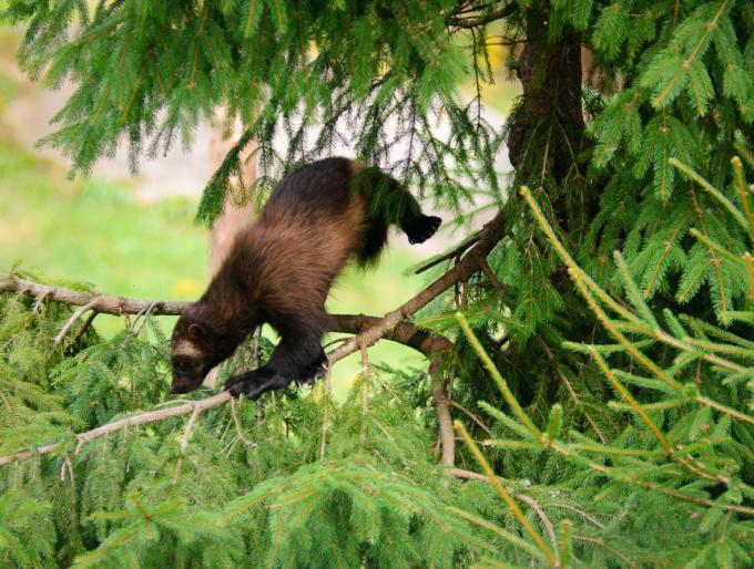Wolverine climbing a tree