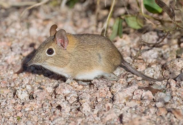 Bushveld-elephant-shrew