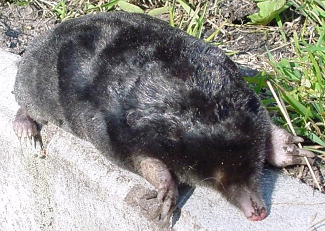 European_mole_animal