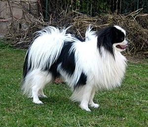 Japanese Chin, young male.