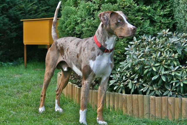 Louisiana_Catahoula_Leopard_Dog_-_Red_Leopard