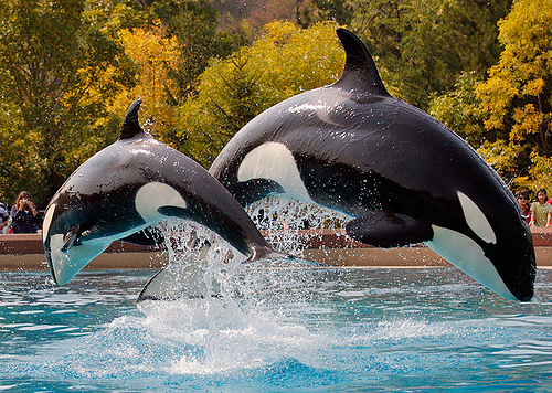 Killer Whales Taken at Marineland, Niagara Falls. Image credit Robert Dewar