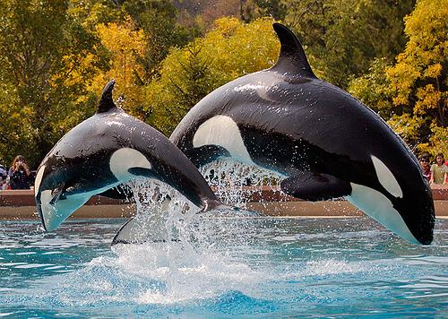Killer Whales Taken at Marineland, Niagara Falls. Image credit Robert Dewar