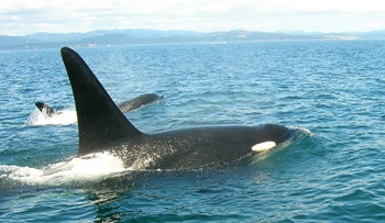 Orcas_-_Mama_and_babe