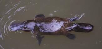 Platypus Eungella by Christine Ferdinand cc2.0