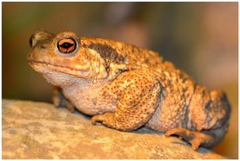 Crapaud commun / Common Toad