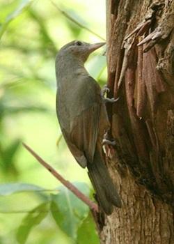 Little Shrike-thrush, Colluricincla megarhyncha
