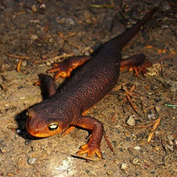 Rough-skinned newt in Big Basin Redwoods