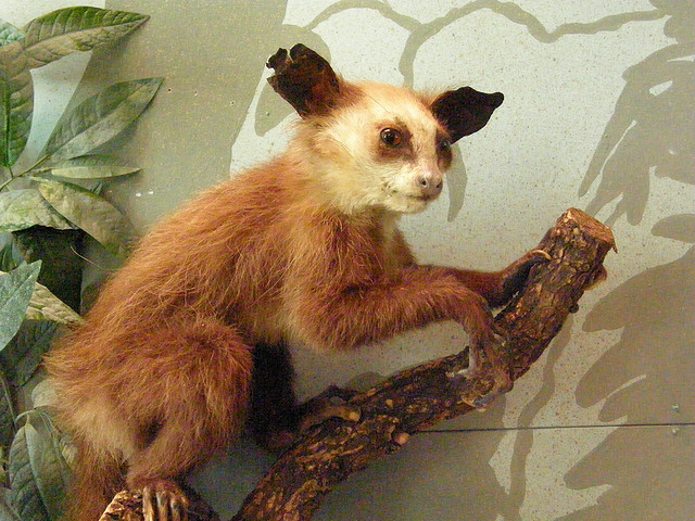 An Aye-Aye (Daubentonia madagascariensis) in Vienna by Frank Wouters cc2.0