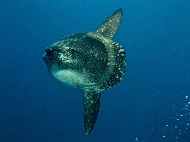 The Mola mola (sunfish)