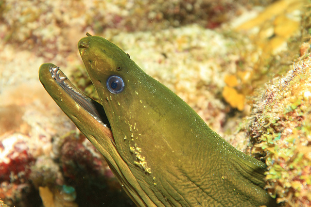 Green Moray - Gymnothorax funebris