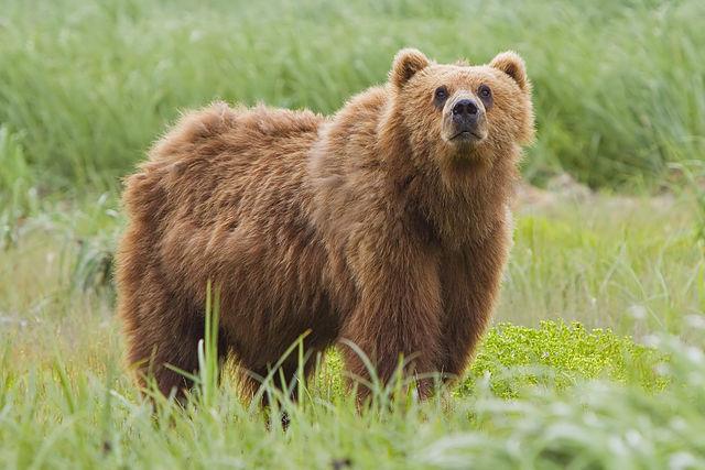 640px-2010-kodiak-bear-1