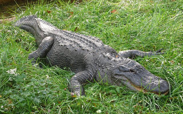 640px-Alligator_mississippiensis_(1),